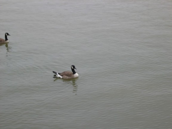 Canadian Geese at the Promenade Havre de Grace